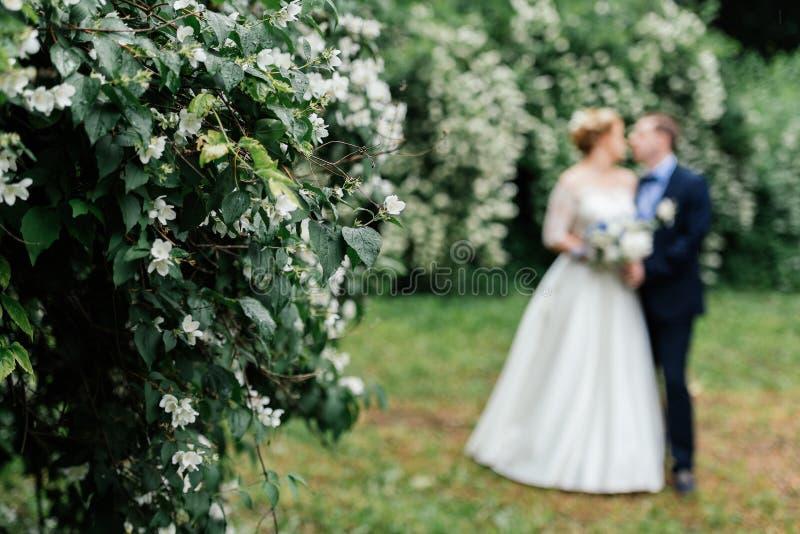 在雨以后的开花的茉莉花灌木与新娘和新郎在背景中 在茉莉花花的雨珠  免版税库存照片