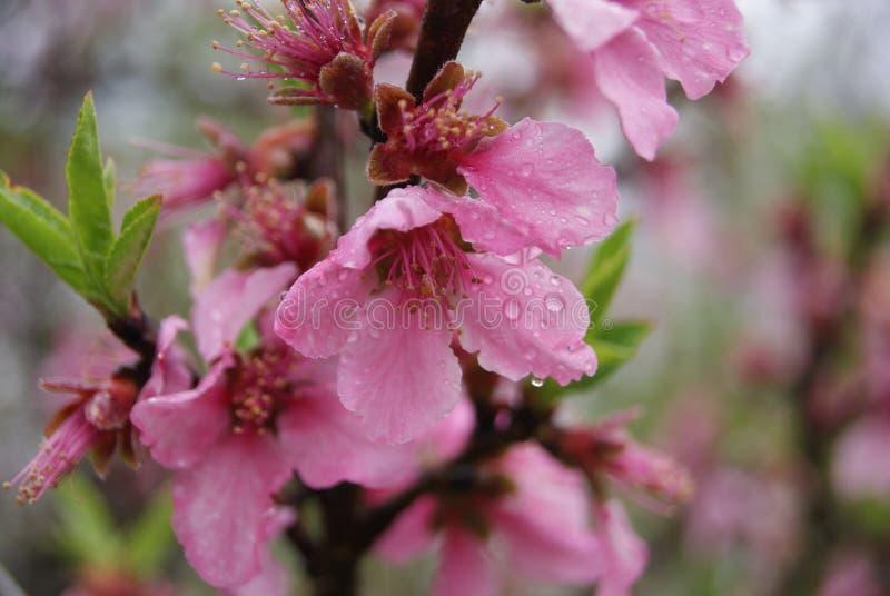 在雨以后的桃红色花 库存照片
