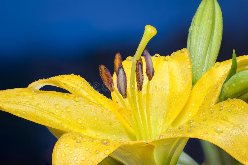 在雨以后的湿百合 免版税库存图片