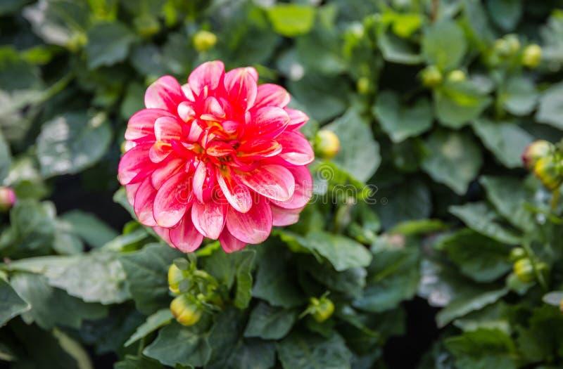 在雨以后的红色开花的大丽花植物 图库摄影