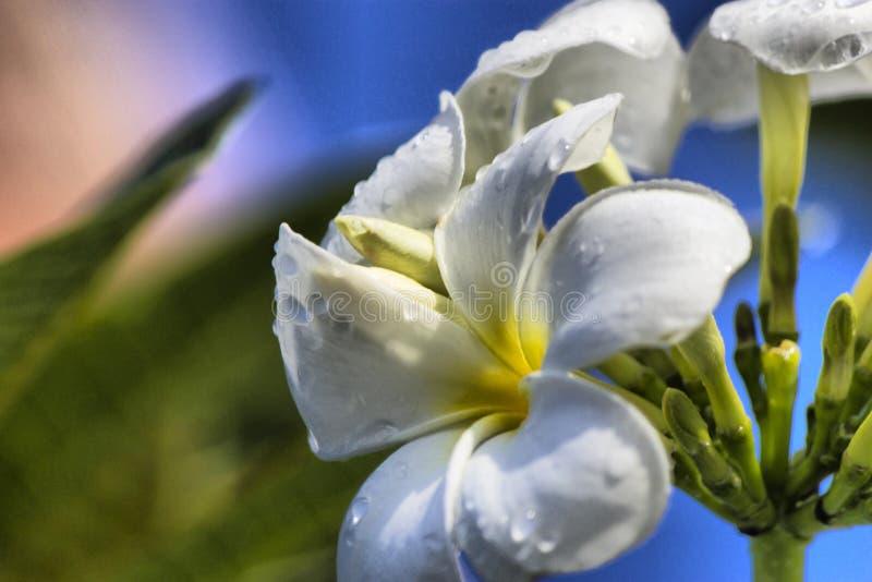 在雨以后的花 库存照片