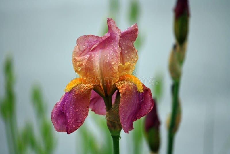 在雨以后的虹膜 免版税库存图片