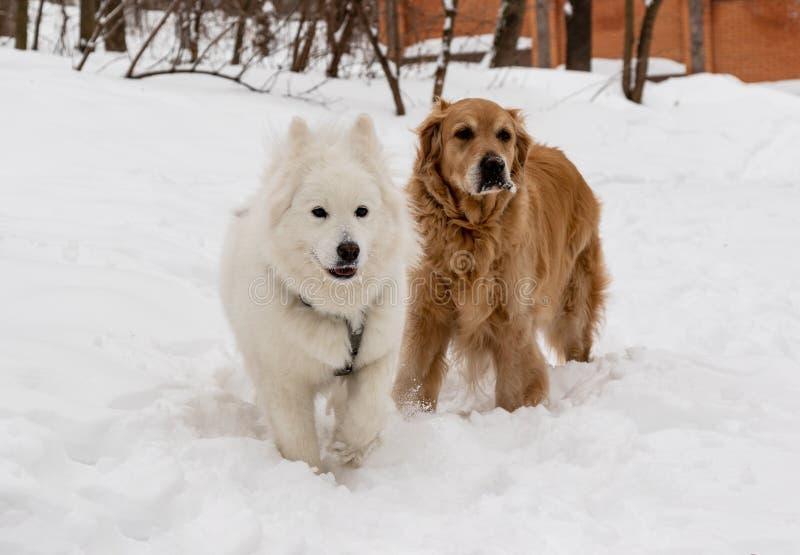 在雪、狗友谊多壳的萨莫耶特人和金毛猎犬的狗 库存图片