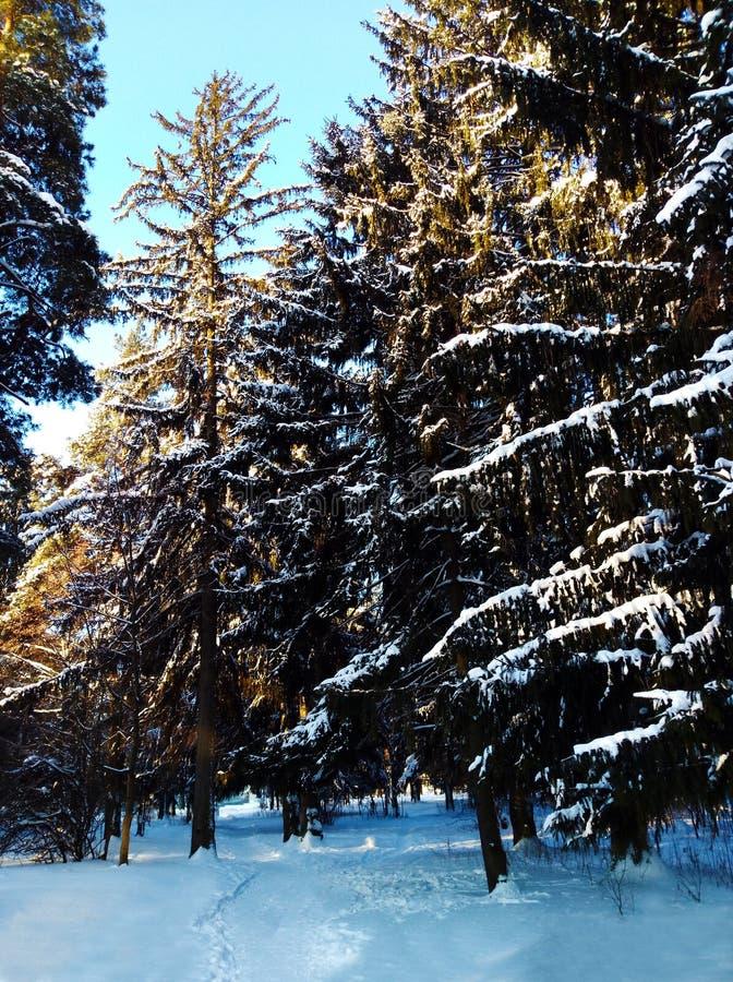 在雪下的冬天森林 木头在西伯利亚在冬天 木头在俄罗斯在冬天 太阳雪和木头 库存图片