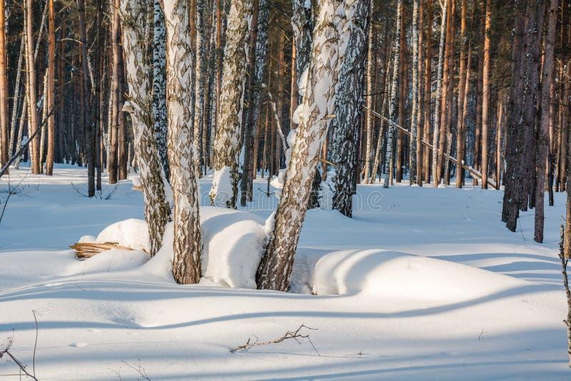 在雪下的冬天森林 木头在西伯利亚在冬天 木头在俄罗斯在冬天 免版税库存图片
