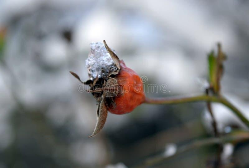 在雪下的山楂树 库存照片