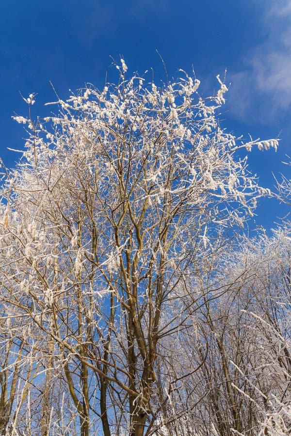 在雪下的白杨木 免版税库存照片