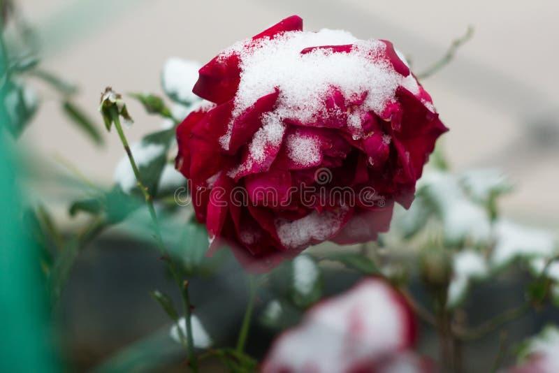 在雪下的红色玫瑰 免版税库存照片
