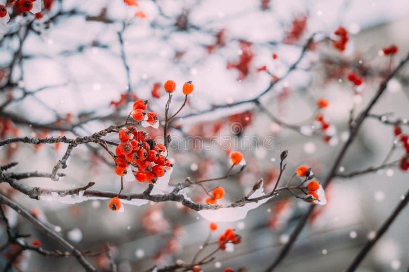在雪下的花楸浆果 库存照片