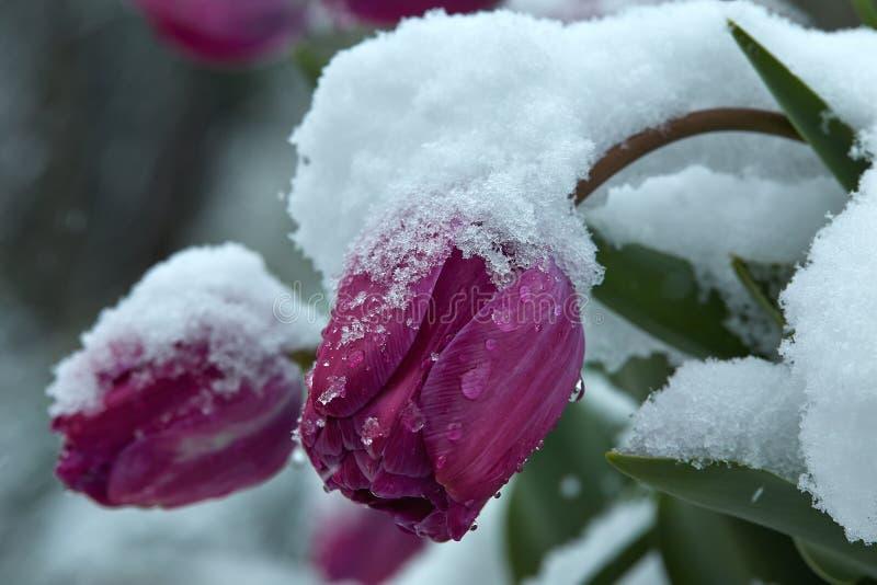 在雪下的郁金香 图库摄影