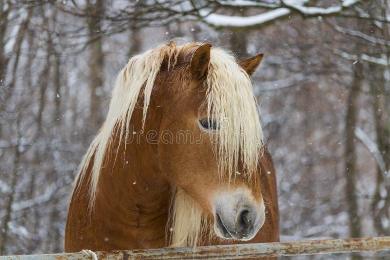 在雪下的马 库存照片