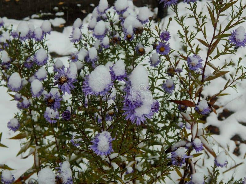 在雪下的冻翠菊 库存图片
