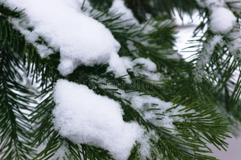 在雪下盖帽的云杉的分支  库存照片