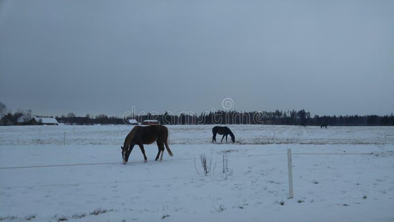 在雪原的马 库存照片