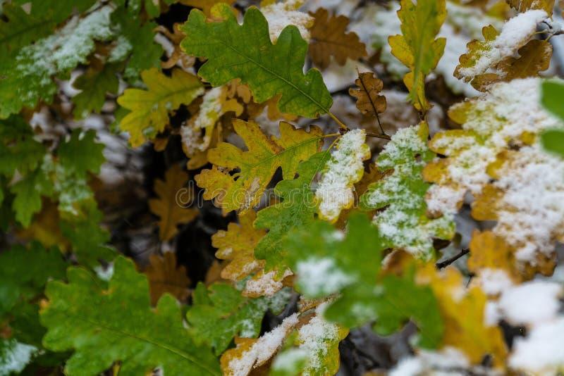 在雪和叶子盖的树在冬天 免版税库存照片