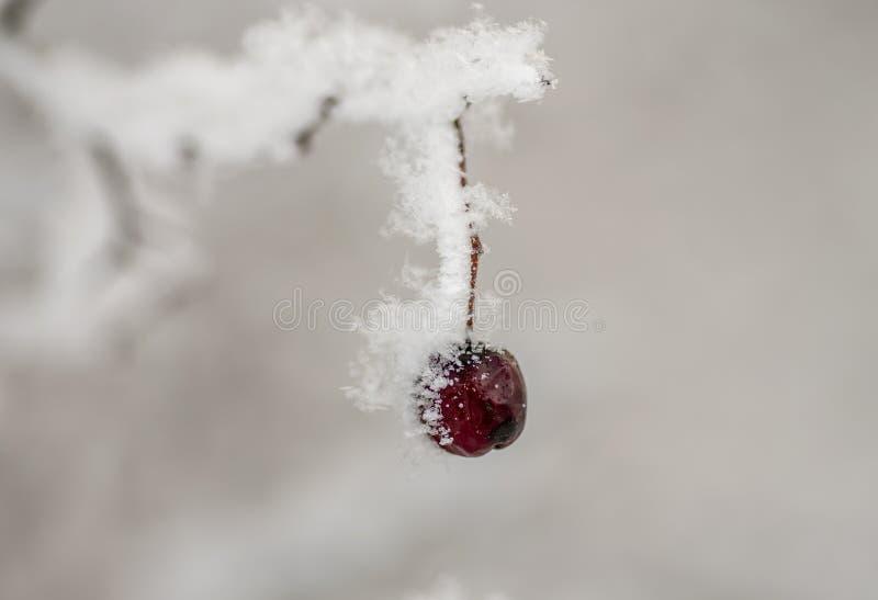 在雪山楂树果子下的山楂树莓果在雪下 库存照片