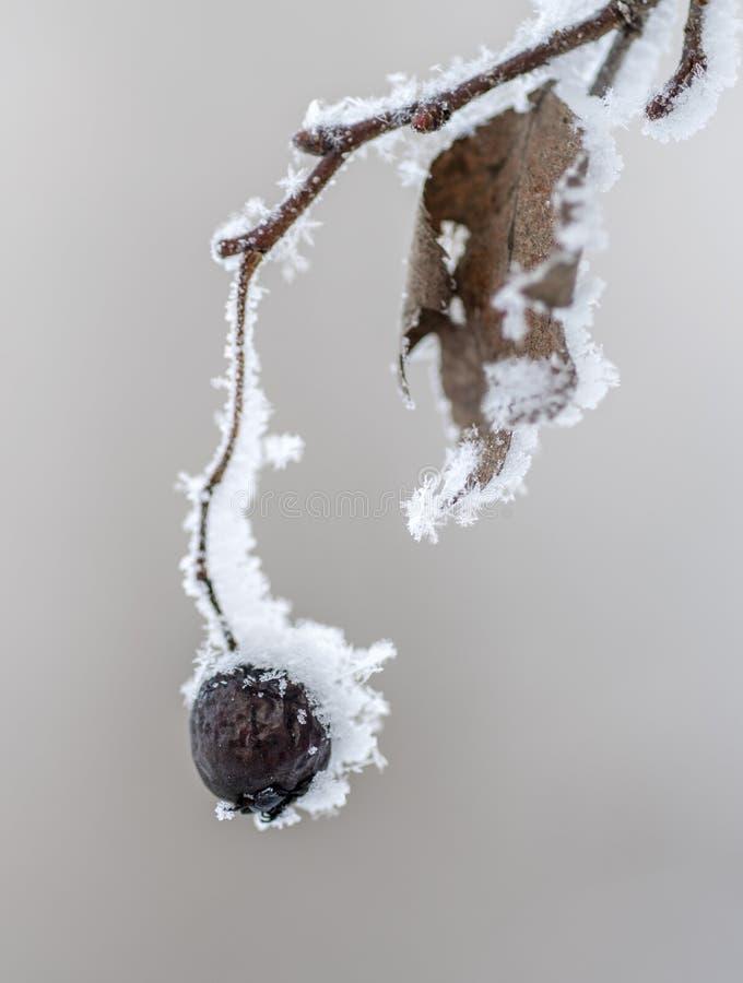 在雪山楂树果子下的山楂树莓果在雪下 免版税库存图片