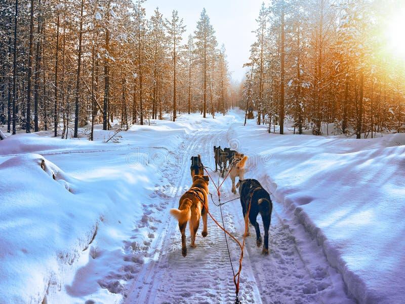 在雪撬的多壳的狗在芬兰拉普兰日落的罗瓦涅米 库存图片