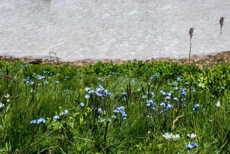在雪旁边的开花的美丽的五颜六色的野花 免版税库存照片