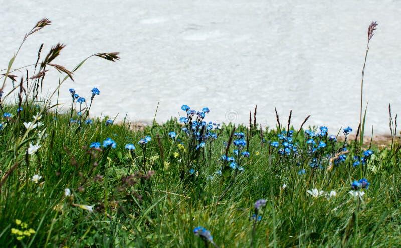 在雪旁边的开花的美丽的五颜六色的野花 库存图片