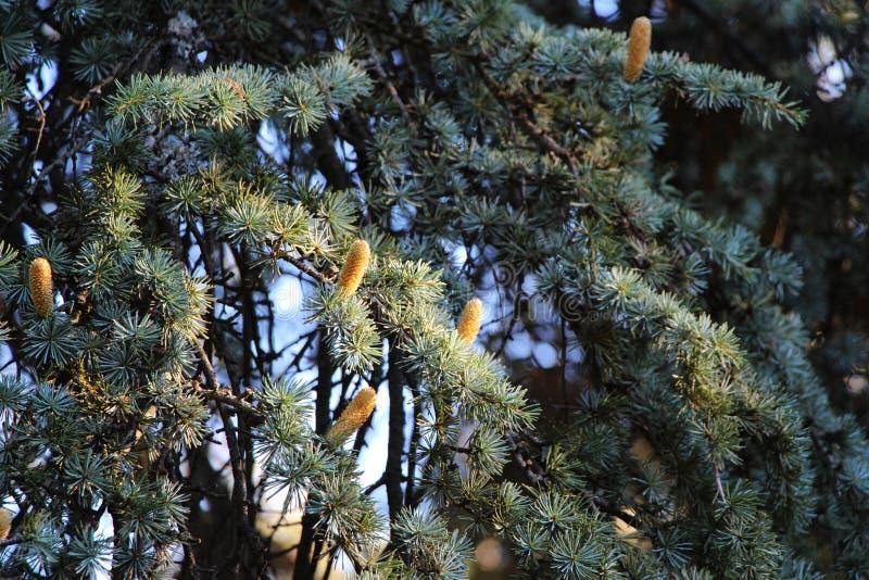 在雪松分支的年轻花粉锥体 免版税库存图片