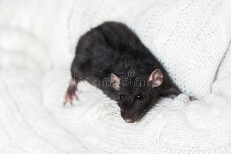 在雪白毛线衣的逗人喜爱的深灰花梢鼠 图库摄影