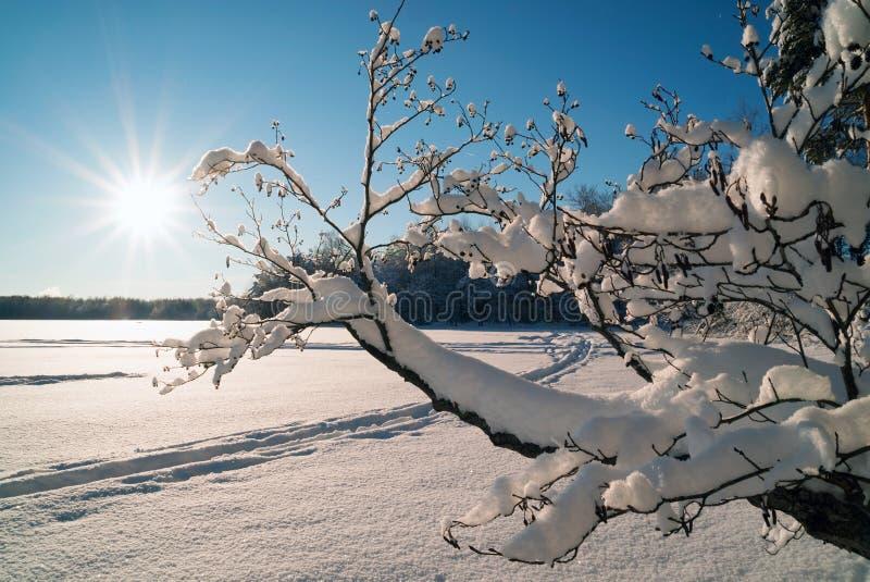 在雪的一棵弯曲的树与太阳的明亮的光芒 33c 1月横向俄国温度ural冬天 免版税库存图片