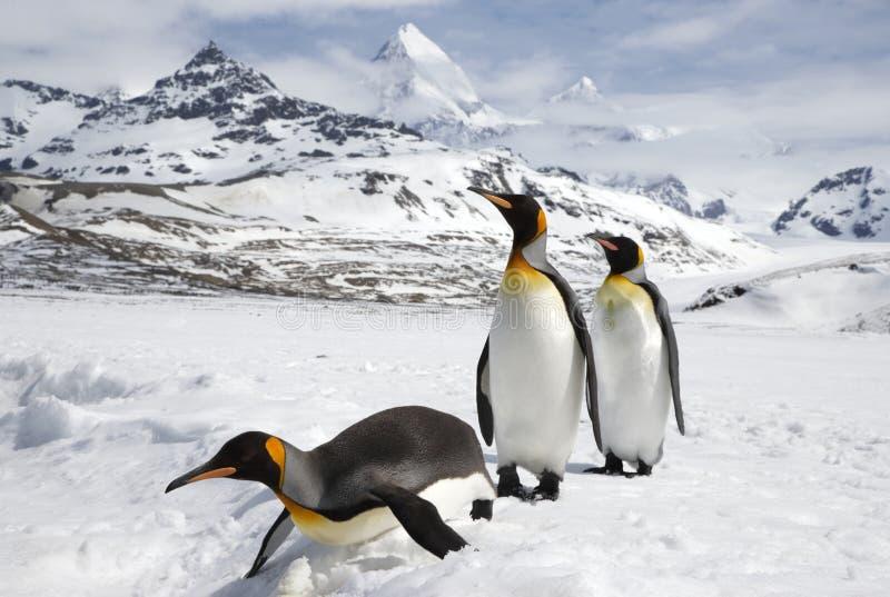 在雪的三企鹅国王在南乔治亚海岛上 图库摄影