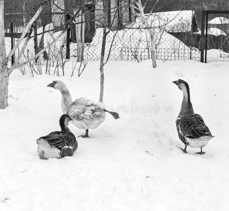 在雪的三只俏丽的鹅 库存图片