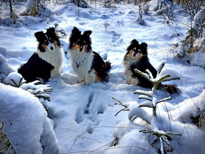 在雪的三只设德蓝群岛牧羊犬 库存图片
