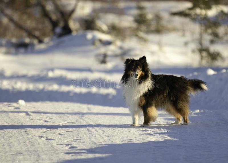 在雪的三色的设德蓝群岛牧羊犬在冬天 免版税库存照片