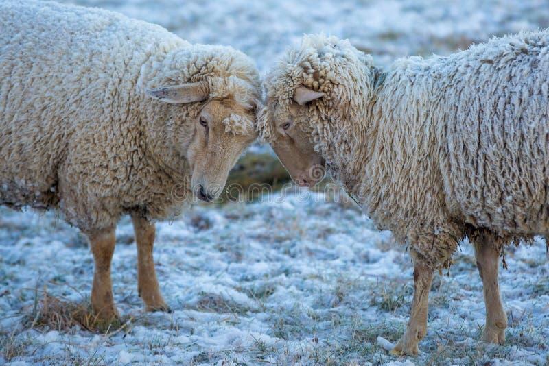 在雪的两只绵羊与在他们的毛皮的冰 库存照片