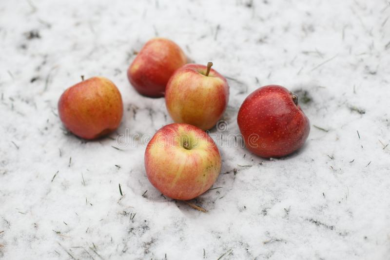在雪的五个红色苹果 库存图片