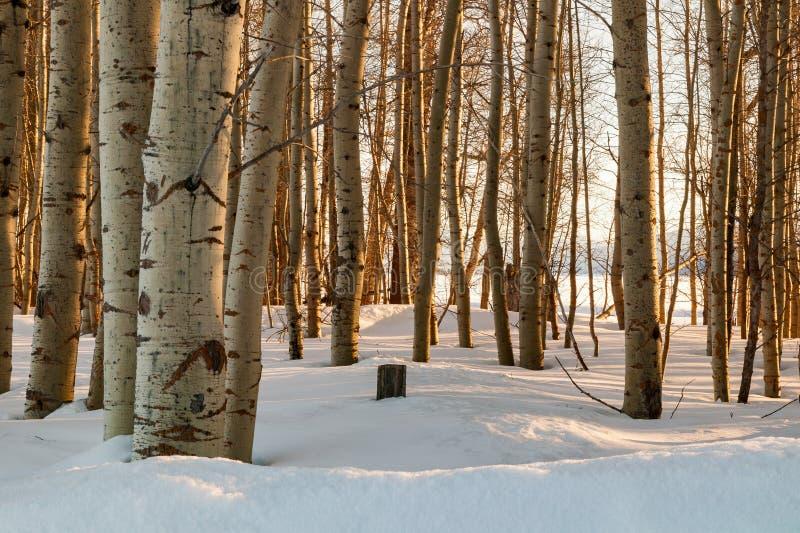 在雪的亚斯本树 免版税库存照片