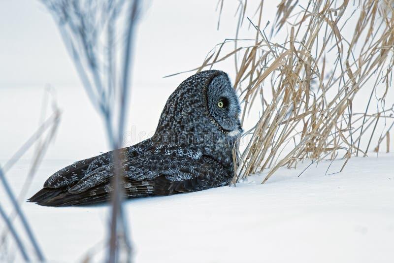 在雪的伟大的灰色猫头鹰 免版税图库摄影