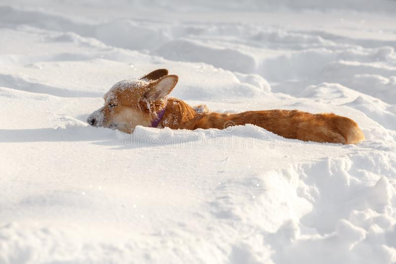 在雪的冬天尾随威尔士小狗羊毛衫 免版税库存照片
