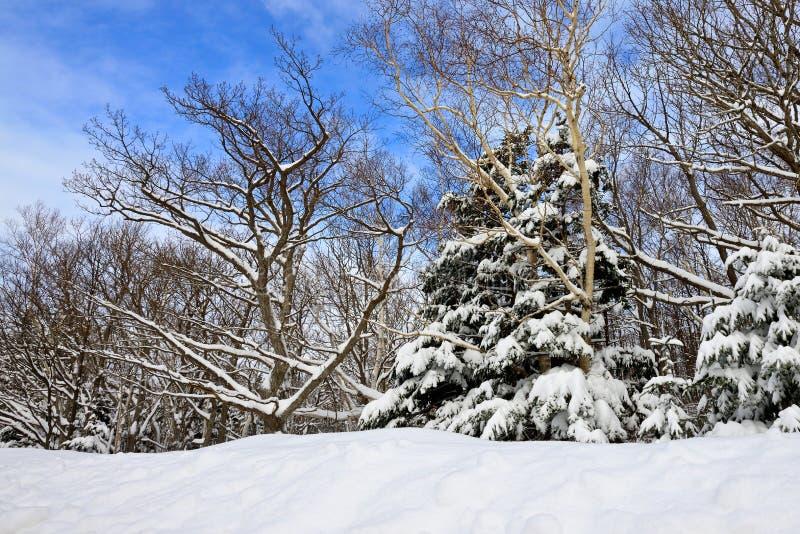 在雪的冬天结构树 库存图片