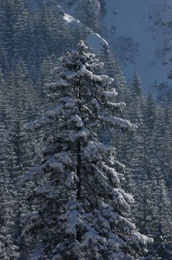 在雪的冷杉木 库存图片