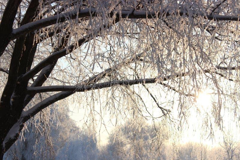 在雪的分行 库存图片
