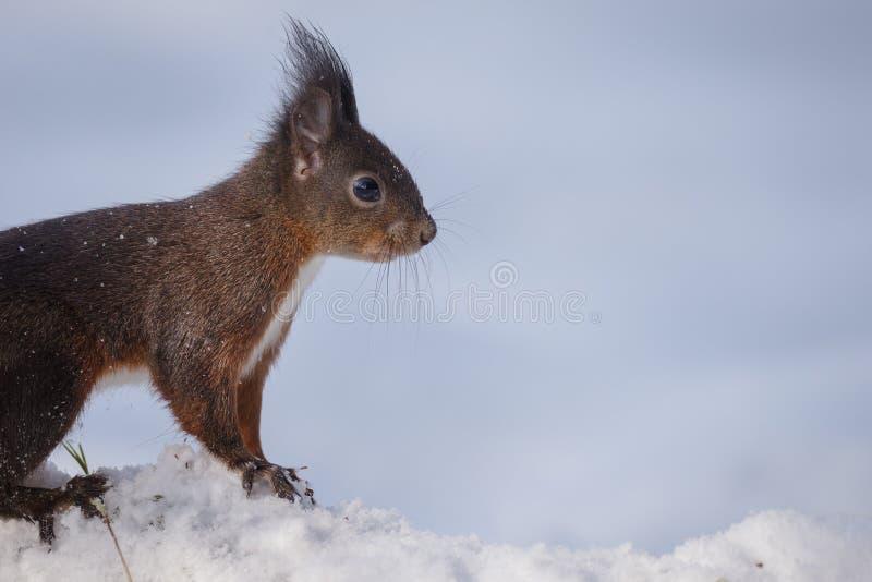 在雪的厚颜无耻的红松鼠 免版税图库摄影