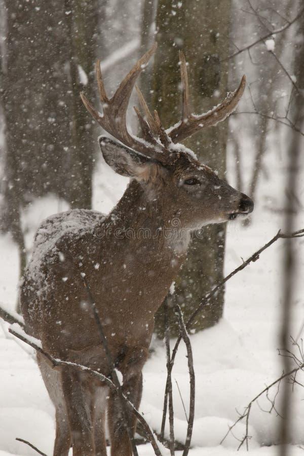 在雪的大大型装配架鹿 免版税库存图片