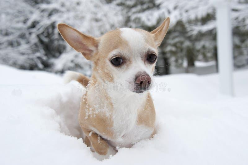 在雪的奇瓦瓦狗 图库摄影
