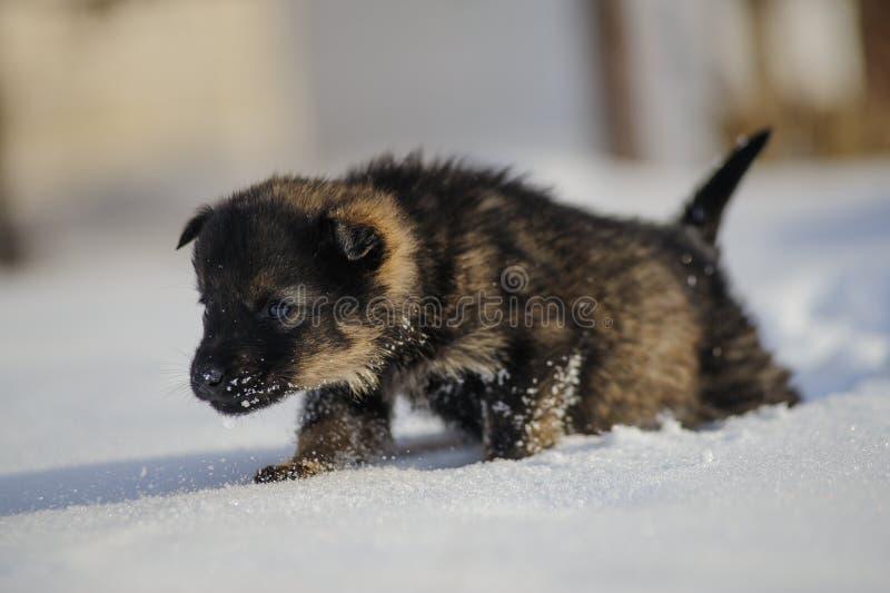 在雪的小狗 免版税库存图片