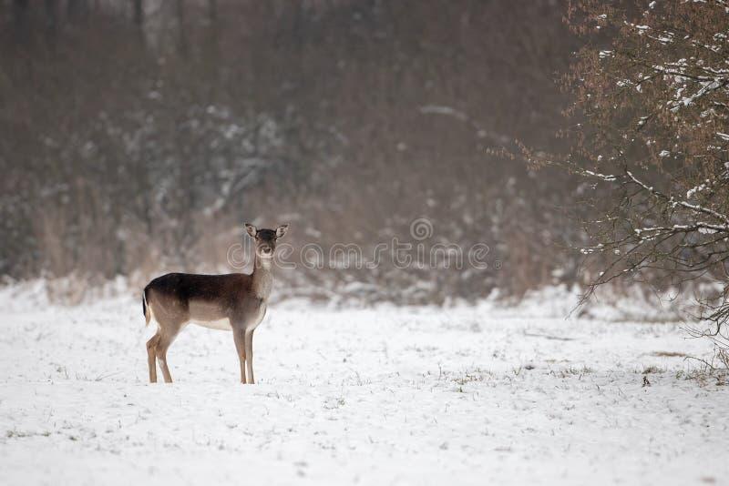 在雪的小鹿母鹿在与空间的冬天拷贝的 免版税库存图片