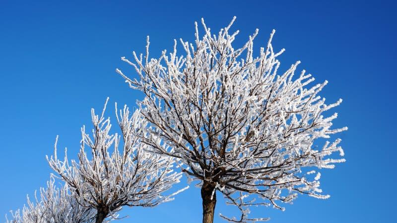 在雪的少量树反对蓝天 库存图片