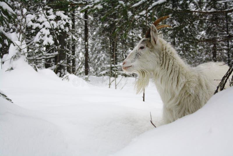 在雪的山羊 免版税图库摄影
