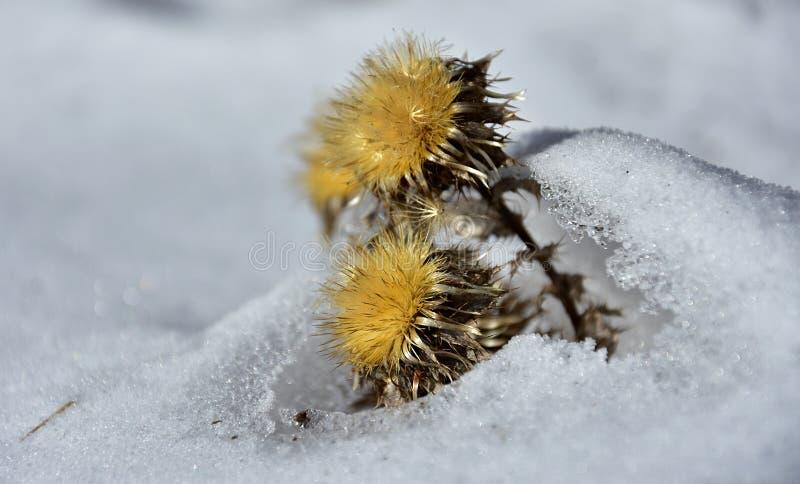 Download 在雪的干燥黄色花 库存照片. 图片 包括有 关闭, 空白, 通配, 玻色子, 背包, 脊椎, 黄色, 工厂 - 84764070