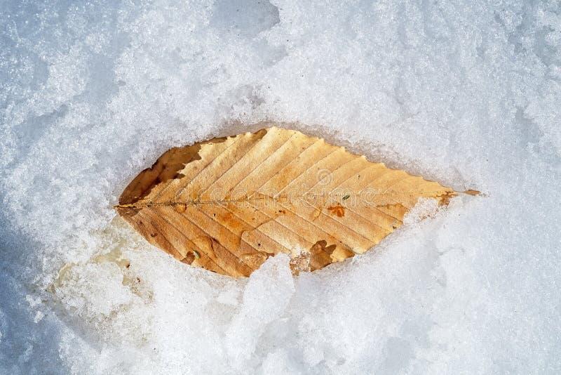 在雪的平的桦树叶子 库存图片