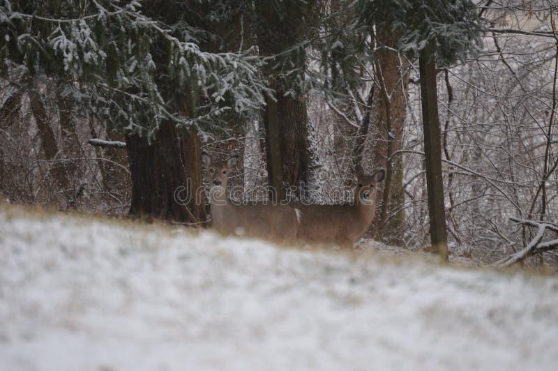 在雪的幼小白尾鹿 库存照片