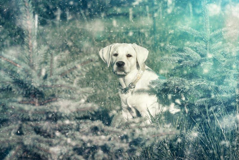 在雪的幼小白色拉布拉多狗小狗 免版税库存照片